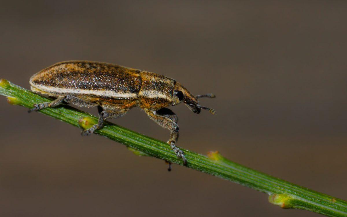 invertebrate, insect, nature, wildlife, brown beetle, arthropod