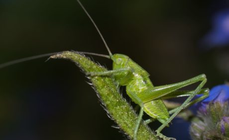insect, wildlife, grasshopper, nature, green leaf, invertebrate