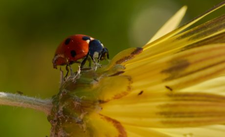 ladybug, insect, nature, red beetle, yellow flower, arthropod, bug, garden, plant