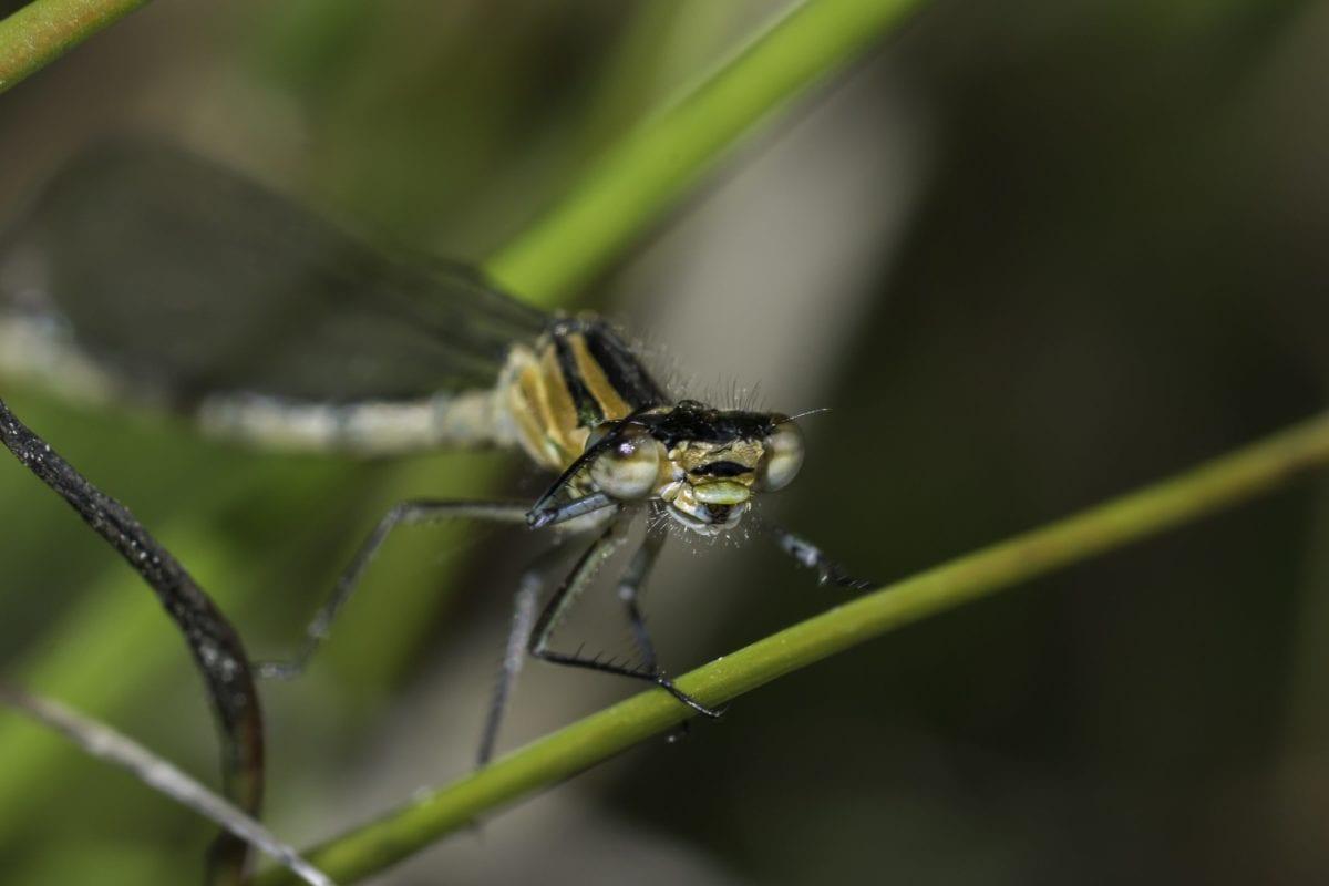 fauna, insecto, invertebrados, libélula, naturaleza, artrópodos