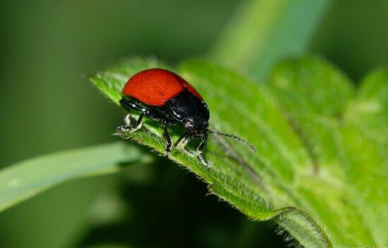 Tierwelt, Insekt, Natur, Blatt, roter Käfer, Tageslicht, grünes Blatt, Arthropoden