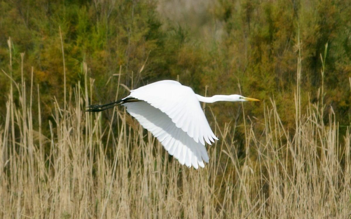 white bird, wildlife, nature, marshland, great egret, heron, water, flight outdoor, grass