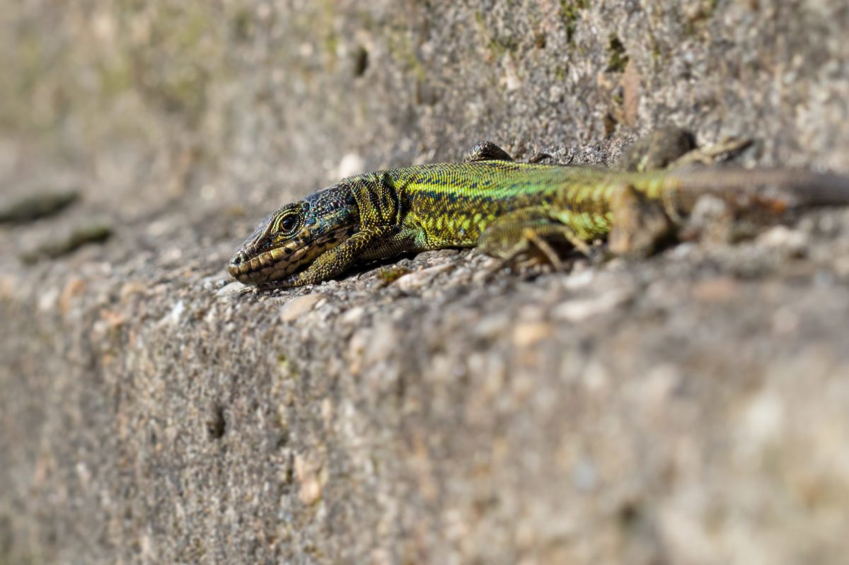 природа, дива природа, зелен гущер, влечуго, диви, животните, на открито