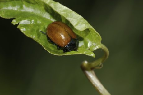 red beetle, insect, invertebrate, biology, green leaf, nature,