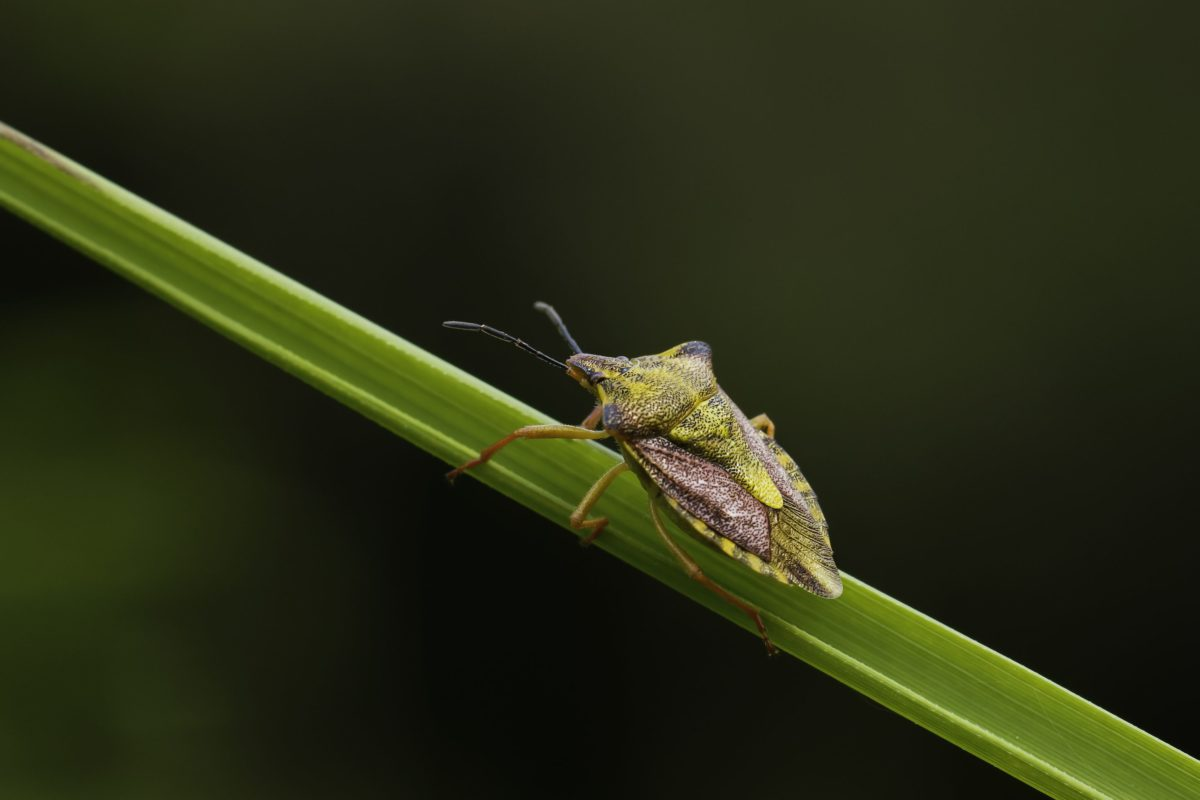 naturaleza, fauna, invertebrados, escarabajo marrón, insecto, hoja, artrópodo, animal
