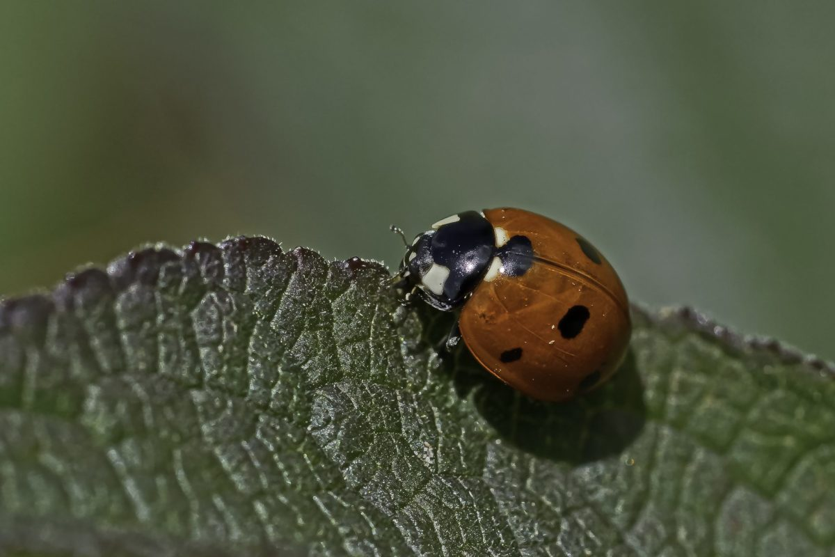 leaf, insect, red beetle, nature, ladybug, wildlife, arthropod