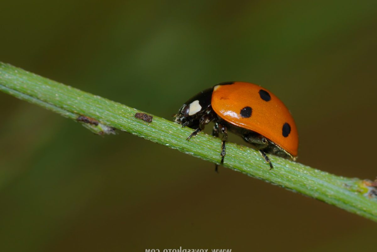 nature, insect, ladybug, summer, wildlife, red beetle, arthropod