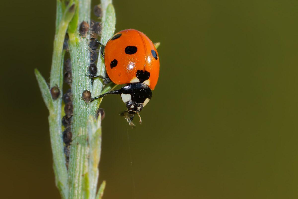 ladybug, nature, insect, red beetle, arthropod, bug, garden, plant
