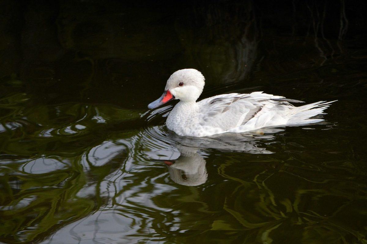 white duck, water, lake, wildlife, bird, beak, wild