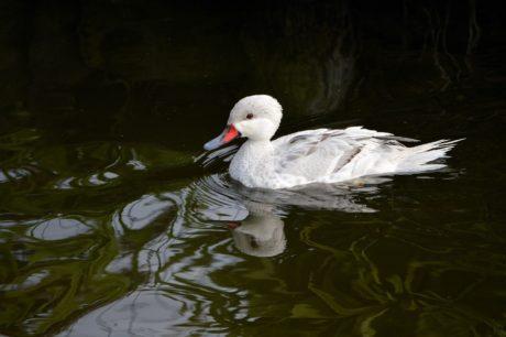 เป็ดขาว, น้ำ, ทะเลสาบ, สัตว์ป่า, นก, จะงอยปาก, ป่า