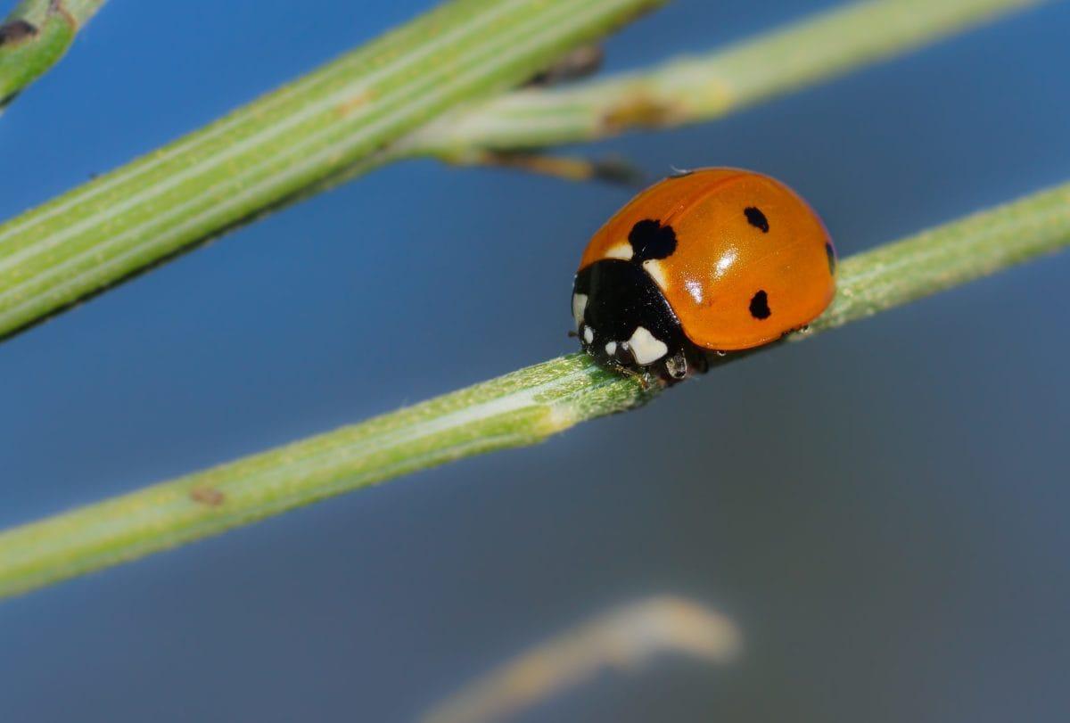 ladybug, beetle, insect, biology, detail, arthropod, bug, garden