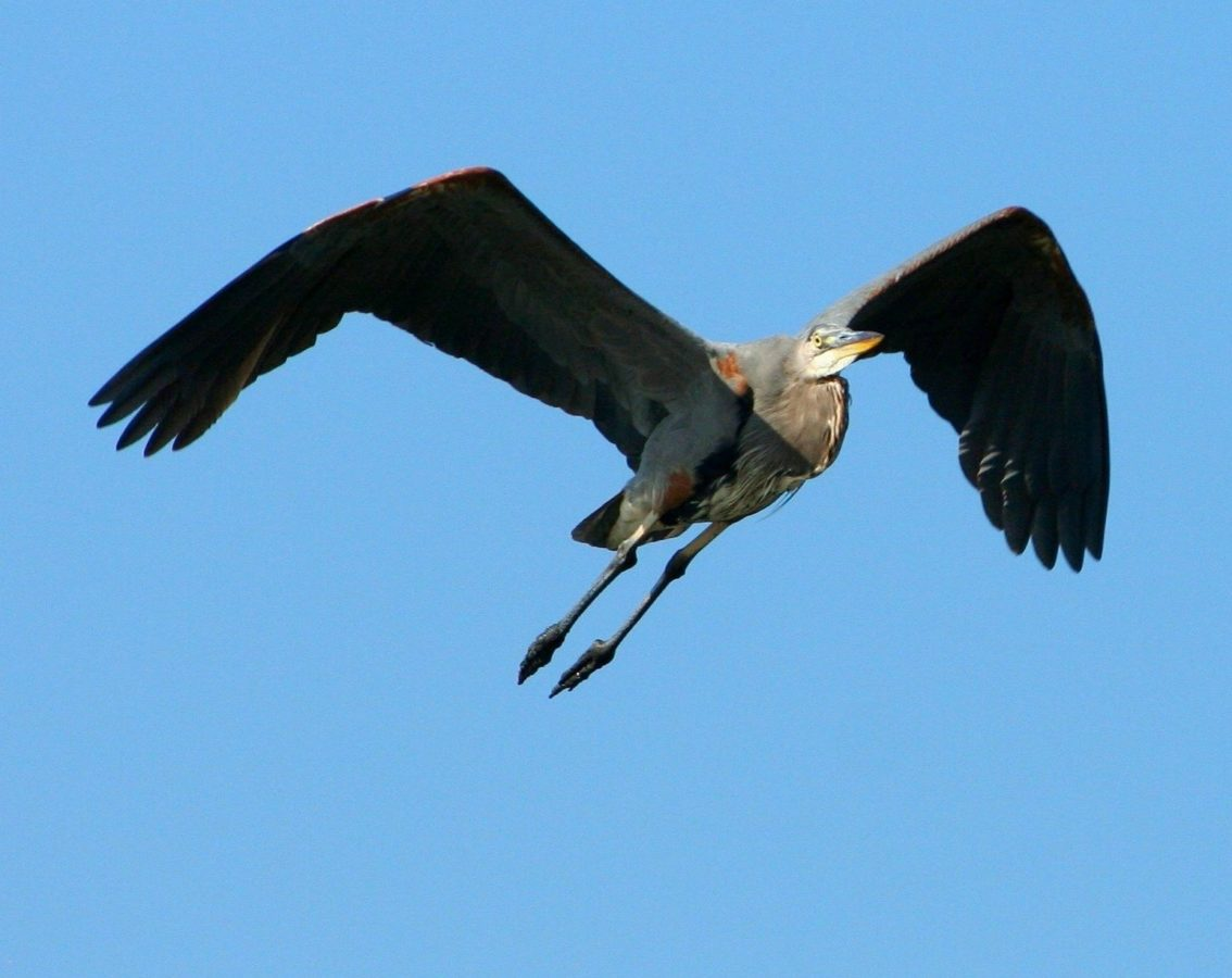 faune, oiseau, ciel bleu, animal, vol, nature, faucon, Raptor