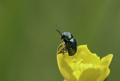 green beetle, insect, arthropod, flower, invertebrate, bug, plant