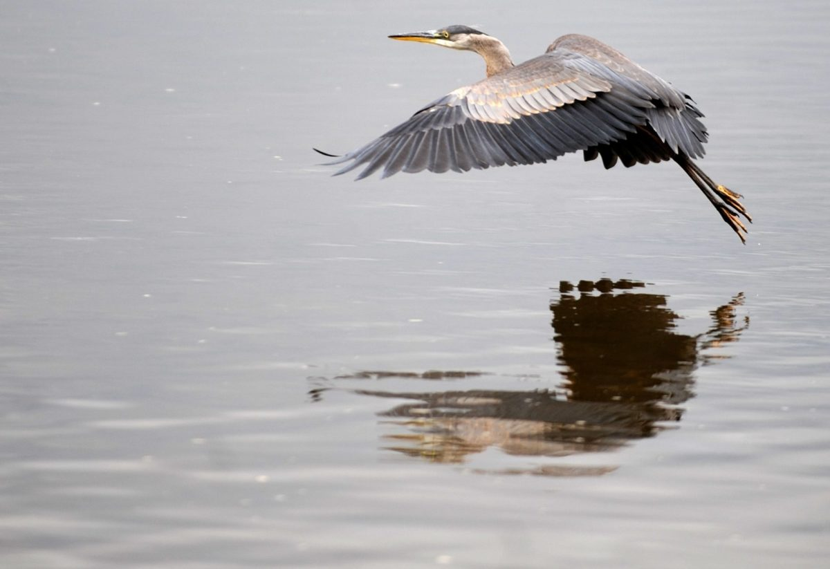 lake, bird, wildlife, water, heron, flight, reflection, wild