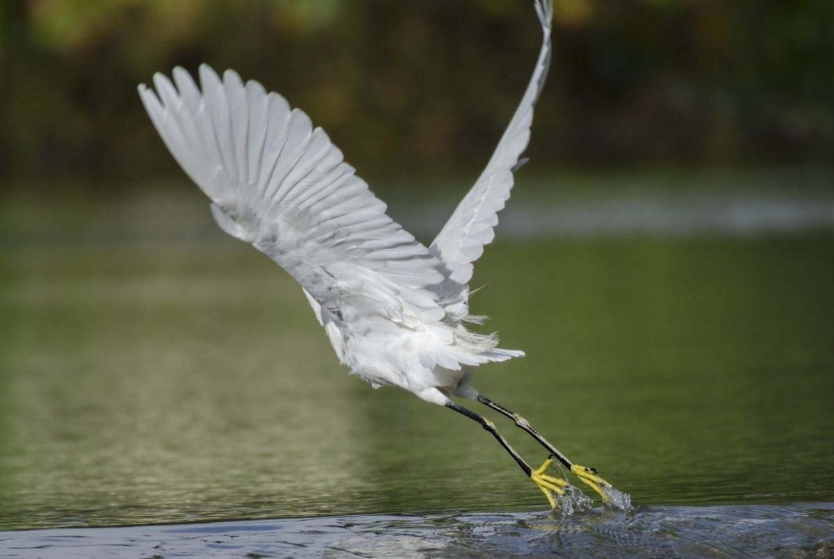 water, bird, nature, lake, feather, flight, egret, heron, wildlife