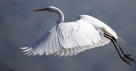 Белая птица, дикая природа, цапля, большой цапля, полет, перо, животное, клюв