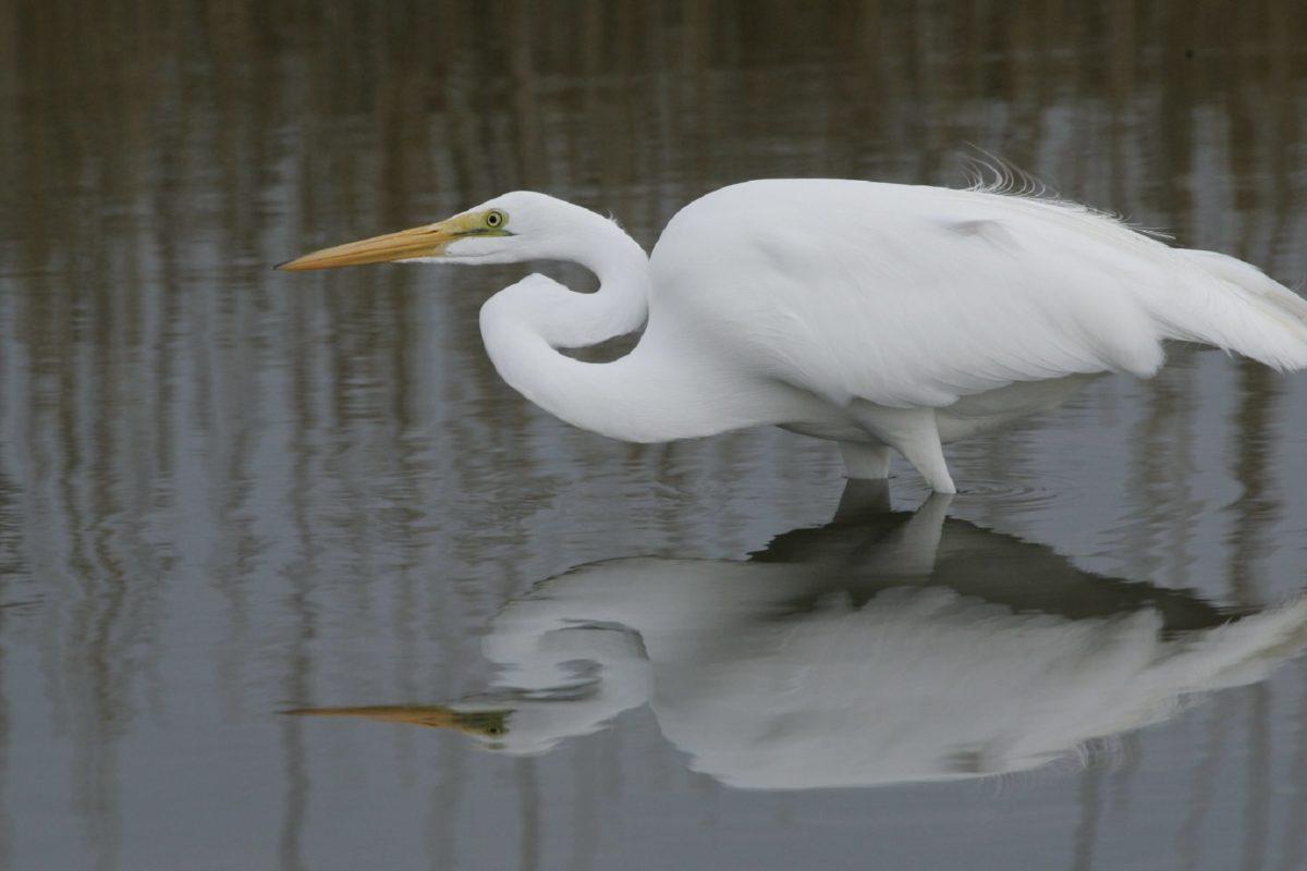 white bird, wildlife, water, lake, great egret, reflection, beak, feather