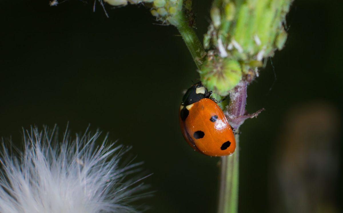 nature, wildlife, insect, ladybug, beetle, green leaf, arthropod, bug