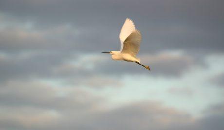 дива природа, птица, полет, перо, клюн, синьо небе, зоология, орнитология