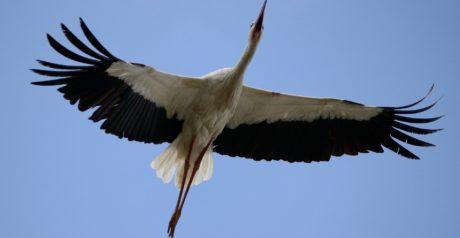 fauna, pájaro, naturaleza, pluma, cigüeña, vuelo, cielo azul, grúa