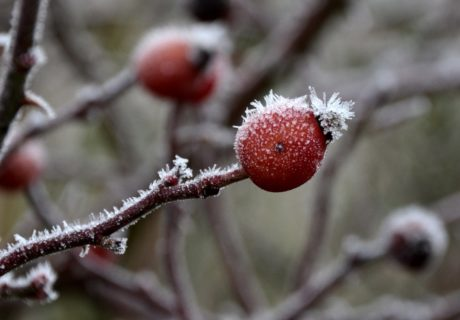 snow, branch, frost, nature, tree, winter, fruit, plant, berry