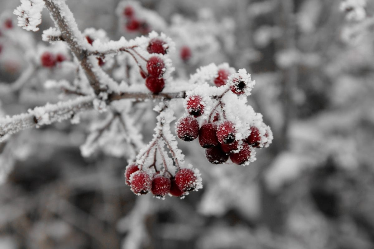 tree, branch, winter, frost, nature, snow, plant, ice