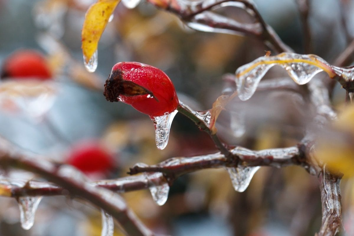 tree, winter, nature, branch, rose hip, ice, frost, plant