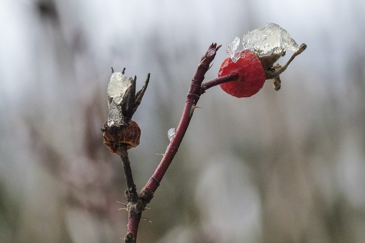 φύση, Χειμώνας, αυξήθηκε ισχίο, φρούτα, υποκατάστημα, δέντρο