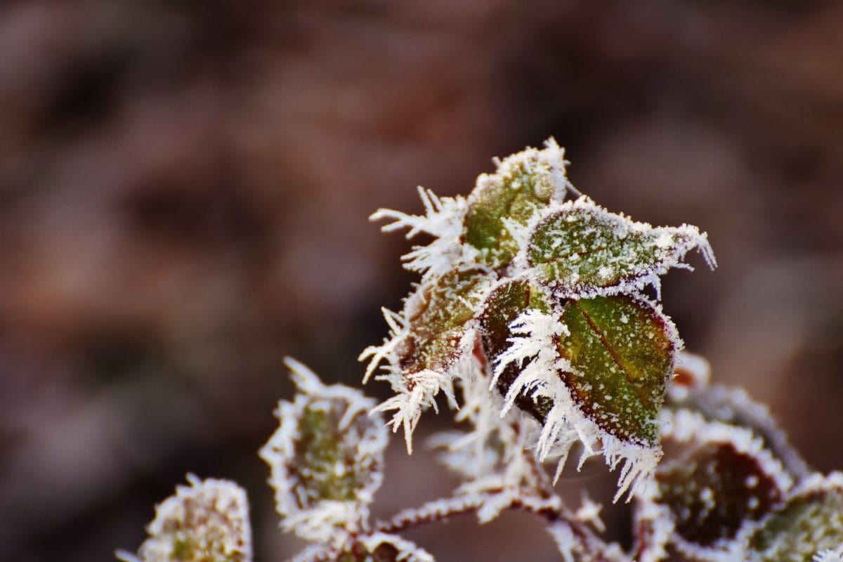 frost, winter, leaf, tree, nature, herb, plant, branch