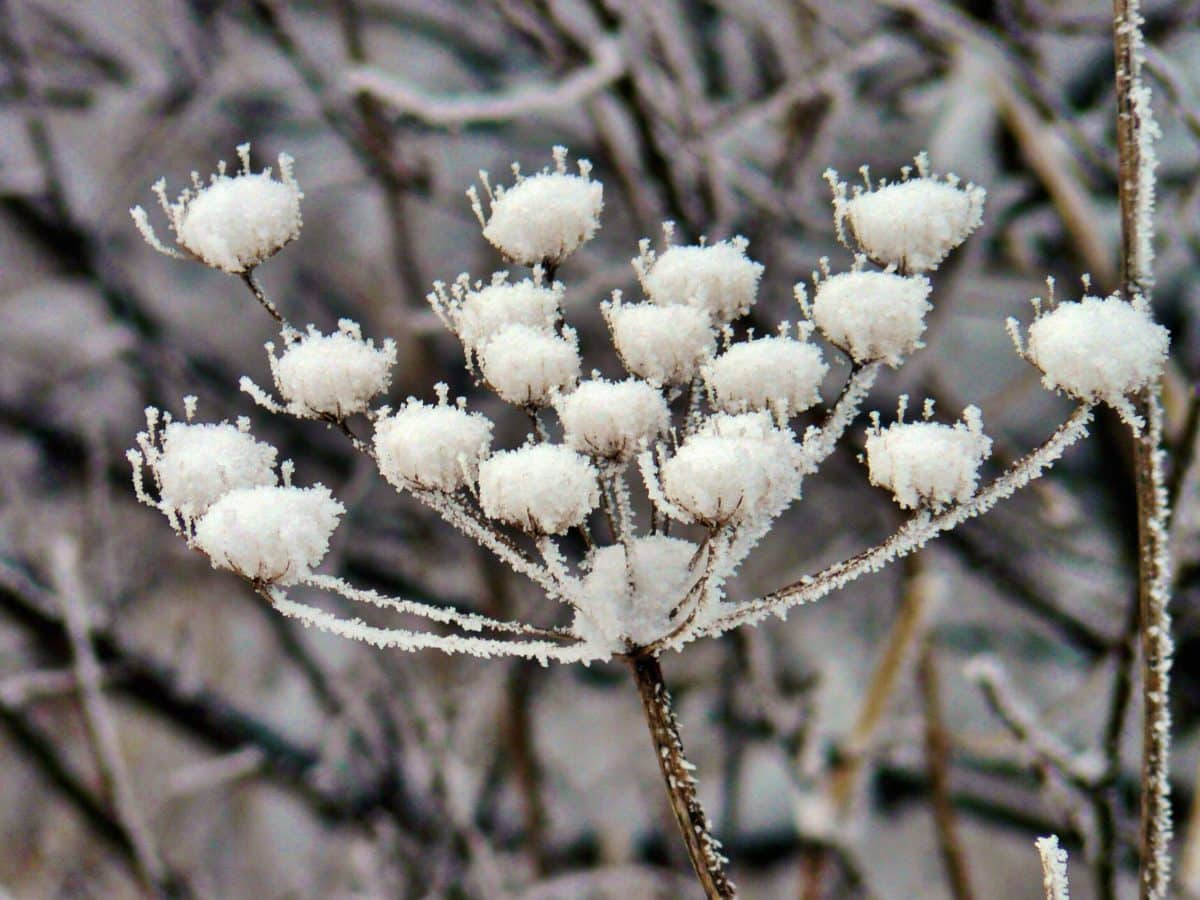 nature, flower, winter, branch, tree, frost, ice, outdoor, herb, plant