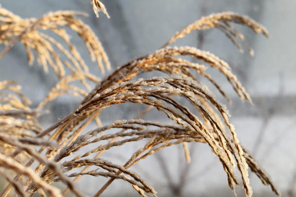 priroda, slame, žitarica, polje, poljoprivreda, biljka, Reed, sjeme, Mraz, zima