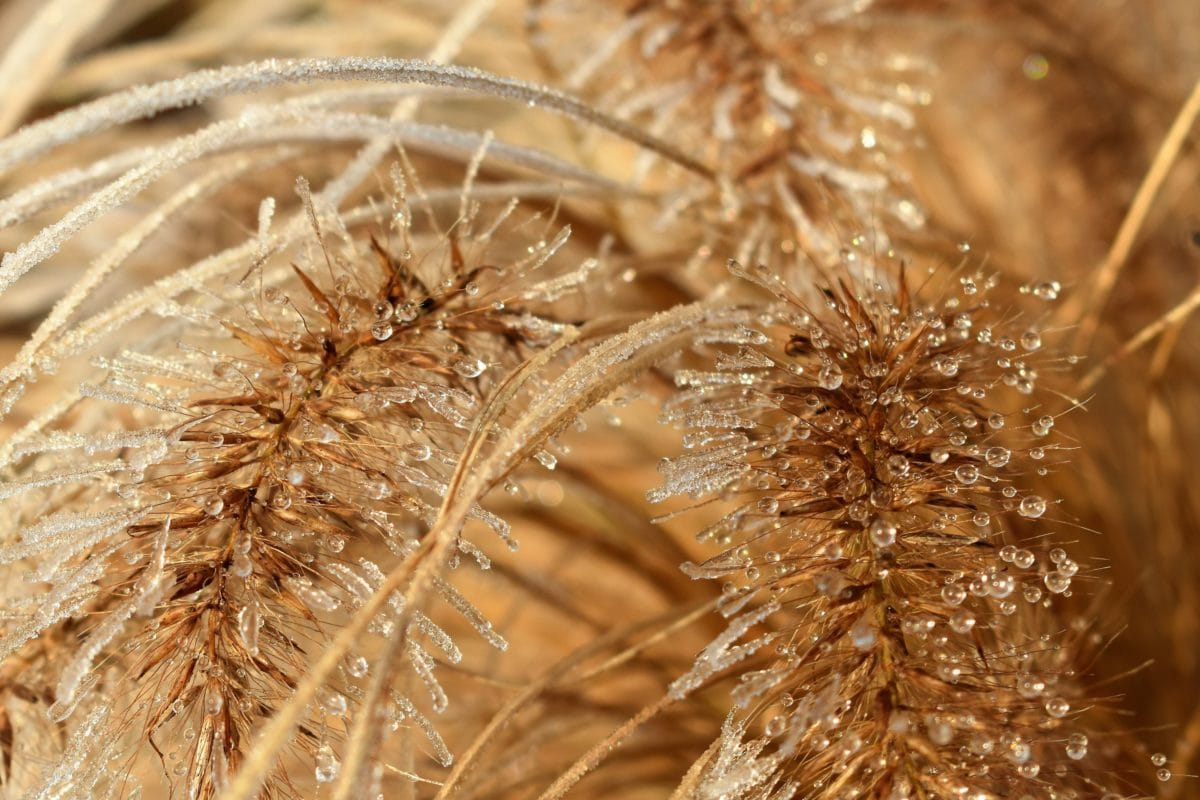 dew, rain, detail, seed, spike, nature, straw, cereal, field, plant