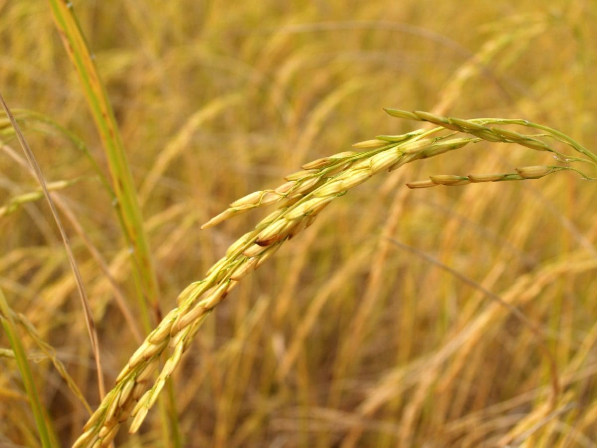 seed, grass, daylight, rye, field, agriculture, straw, cereal