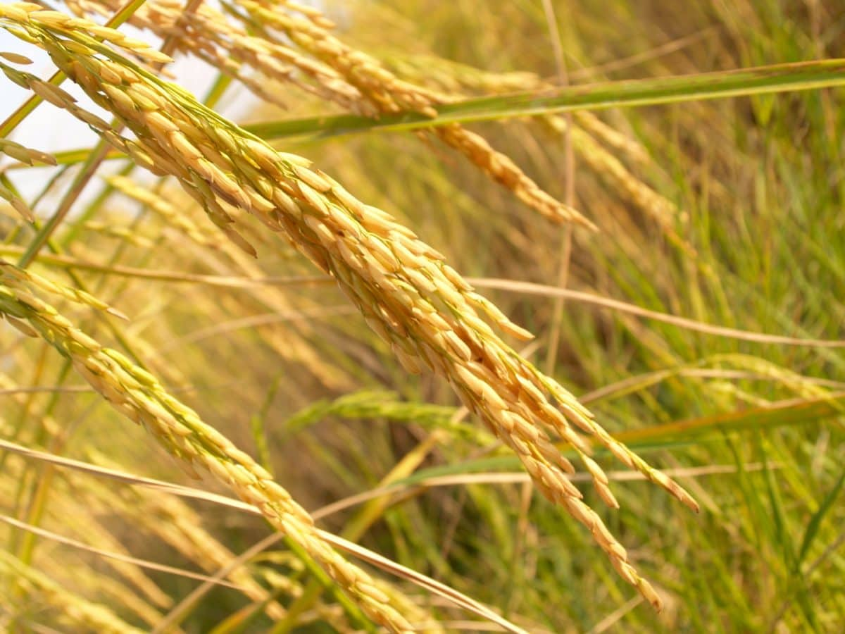 seed, cereal, grass, herb, nature, field, straw, agriculture