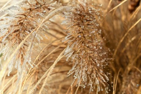 dew, frost, rain, dry, seed, straw, cereal, ice, herb, nature, plant