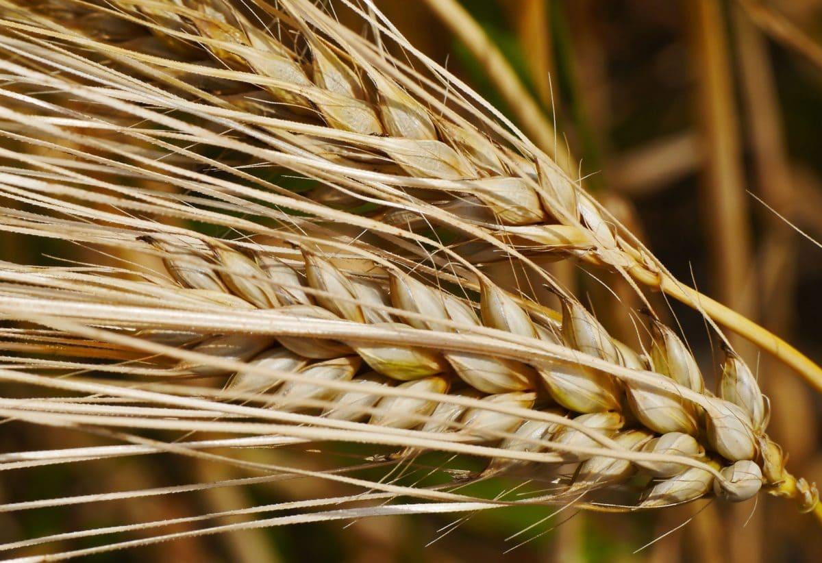 ječmen, žito, Wheatfield, sláma, obiloviny, zemědělství, pole, osivo, organické