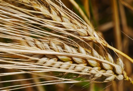 barley, rye, wheatfield, straw, cereal, agriculture, field, seed, organic