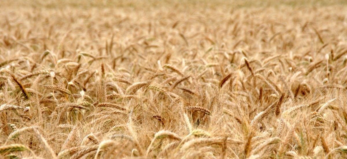 Feld, Landwirtschaft, Weizenfeld, Saatgut, Getreide, Stroh, Gerste, Roggen