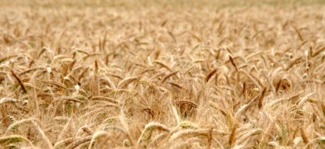 field, agriculture, wheatfield, seed, cereal, straw, barley, rye