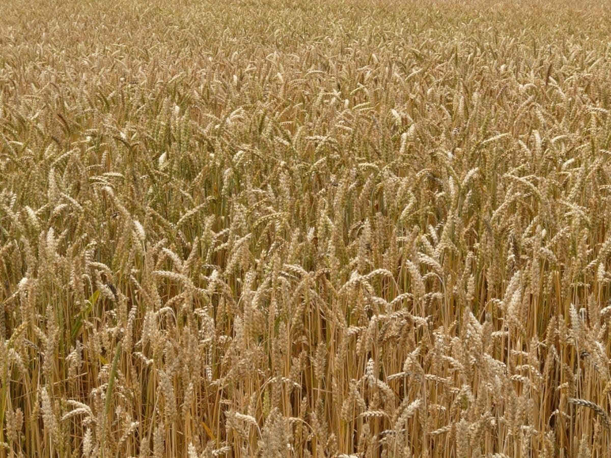 rye, wheatfield, cereal, agriculture, seed, summer, straw, barley, field