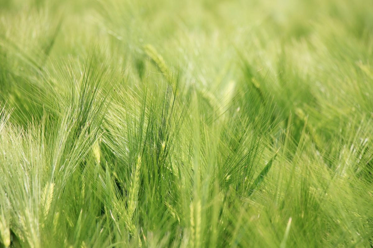 straw, wheatfield, summer, farmland, daylight, agriculture, farmland, nature, cereal, field, green