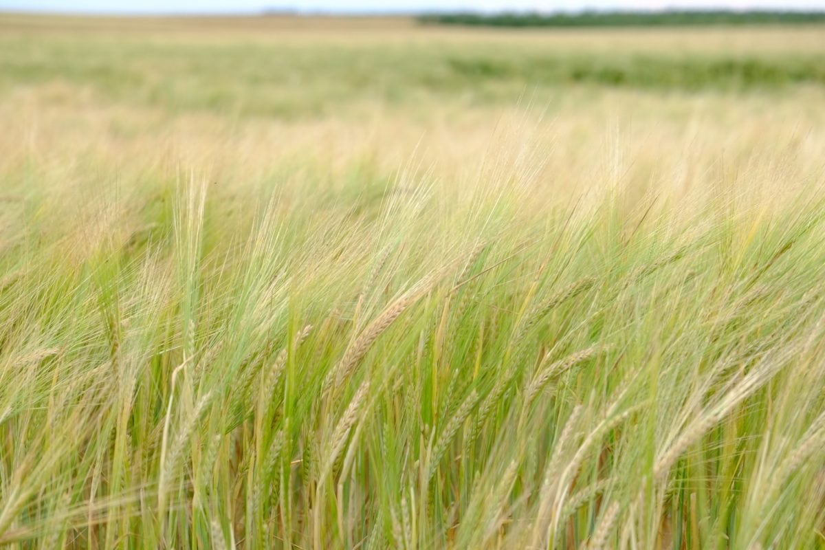 summer, wheatfield, daylight, ecology, nature, grass, landscape, field, cereal, agriculture
