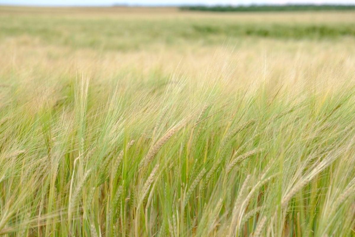léto, Wheatfield, denní světlo, ekologie, příroda, tráva, krajina, pole, obiloviny, zemědělství