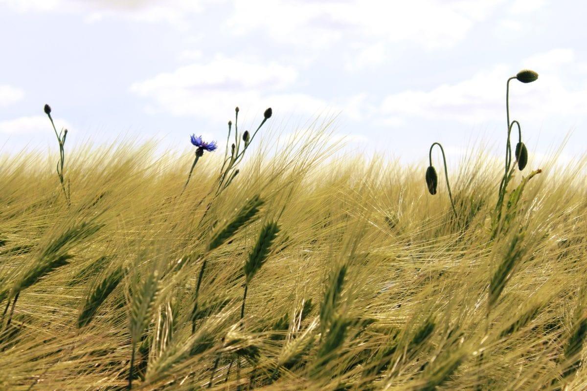 straw, cereal, countryside, summer, field, grass, rye, wheatfield