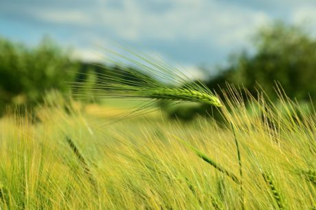 field, cereal, straw, wheatfield, farmland, agriculture, summer, grass