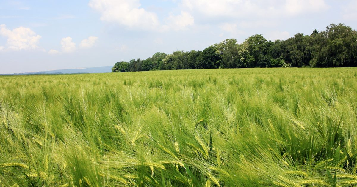 cereal, countryside, wheatfield, field, agriculture, summer, farmland, daylight