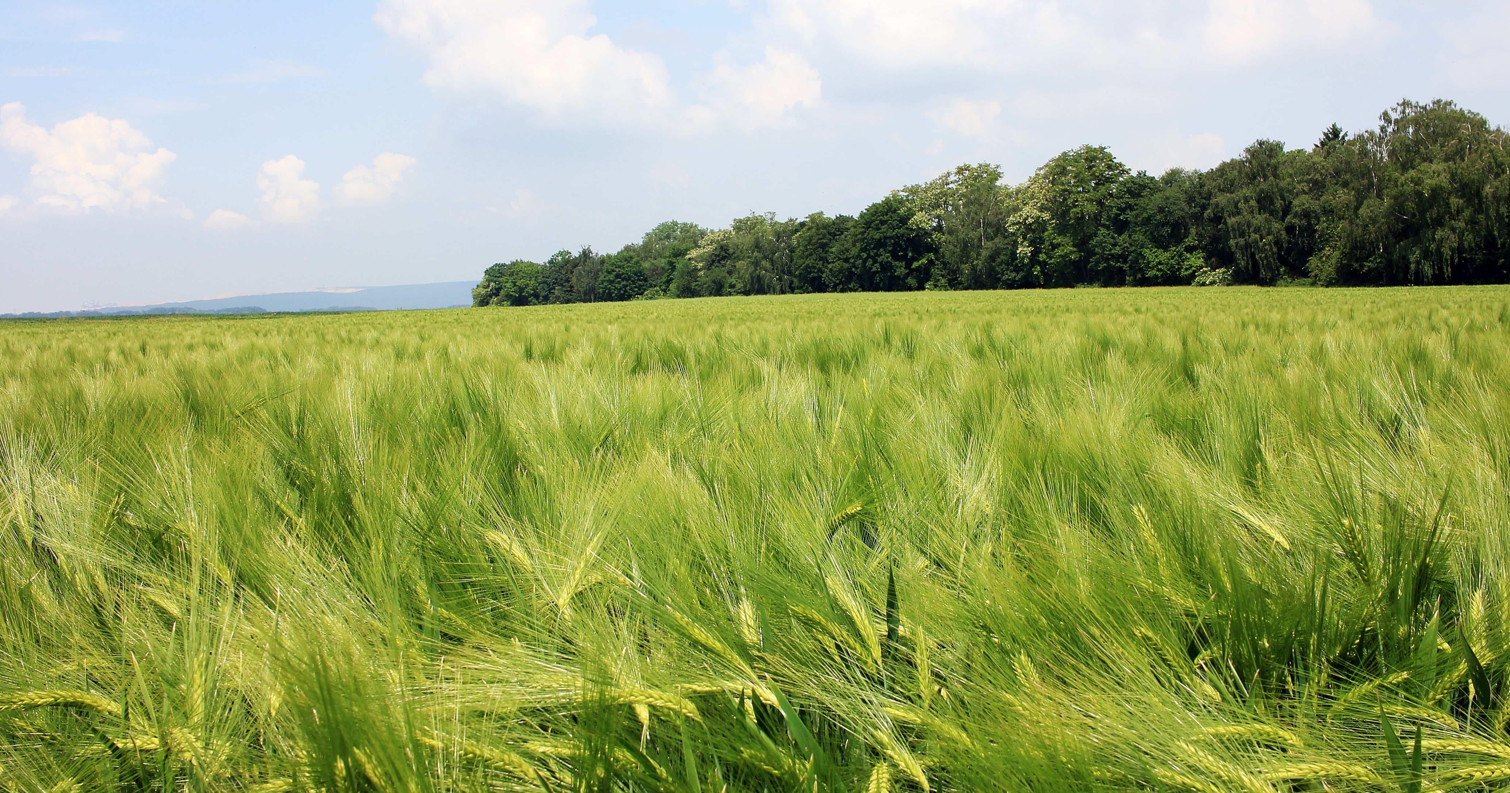 Gambar Gratis Sereal Pedesaan Tni Au Bidang Pertanian Musim