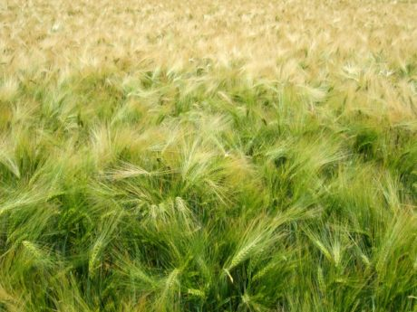 nature, cereal, countryside, field, wheatfield, summer, straw, green grass