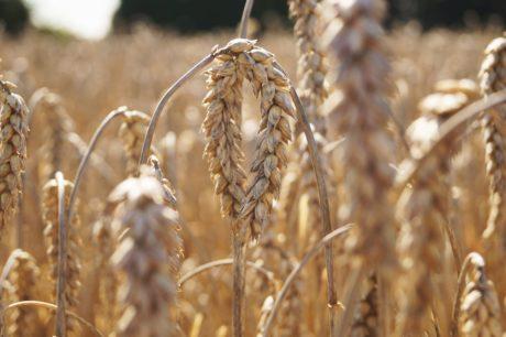 žito, pole, zemědělská půda, obiloviny, ječmen, suché, osiva, sláma, Wheatfield
