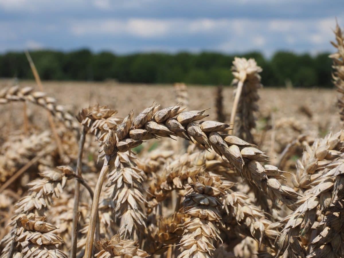 Scoțienii au găsit secretul orzului rezistent la secetă